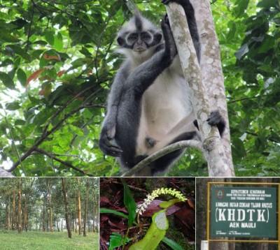 Monyet kedih di Hutan Lindung Aek Nauli