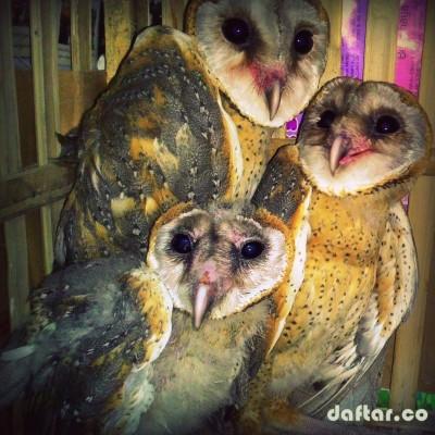 Foto Burung Hantu Tyto Alba Tlogoweru