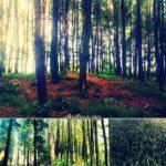 Wono Pinus Setro